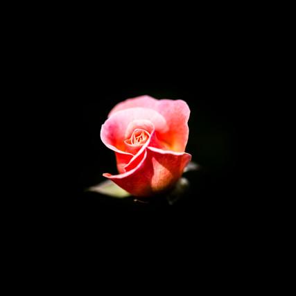 China Rose Pink