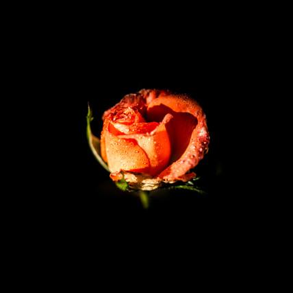 China Rose Red