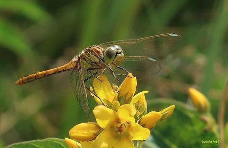 10 Dragonfly 1 h.30xbr45cm op Acrylic.jp
