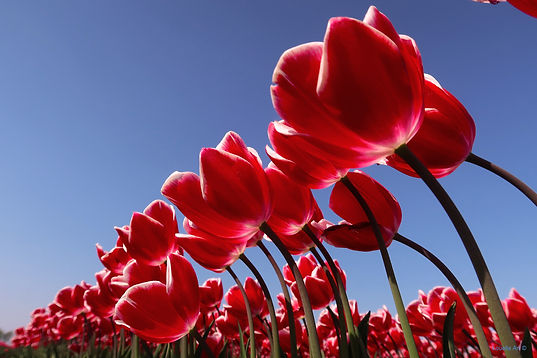 Tulpen Red op Acrylic .JPG