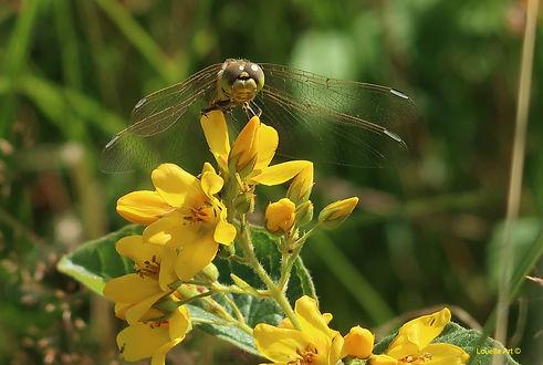 11 Dragonfly 2 h.30xbr.45cm op Acrylic.j