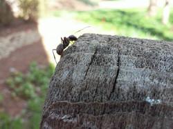 WIX ant