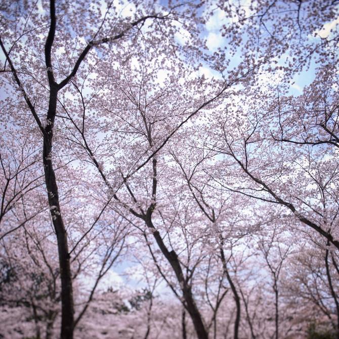 三井寺 桜天井