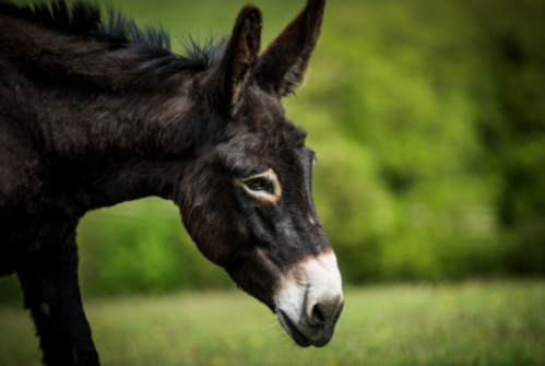 donkey, adopt a donkey, charity, donkey sanctuary