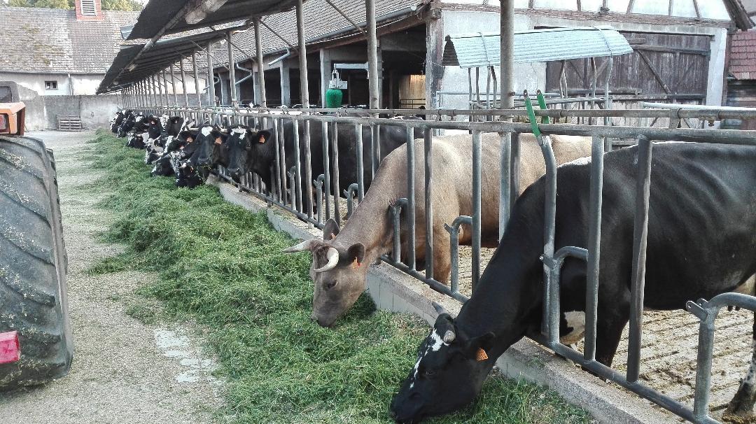 Ferme vaches