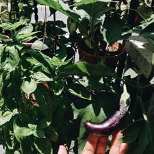Eggplant at EOMM Garden