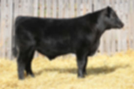 Lot 5 Italian Stallion Steer Small File.