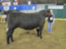 Two Tone Steer at Two Hills District 4-H Show