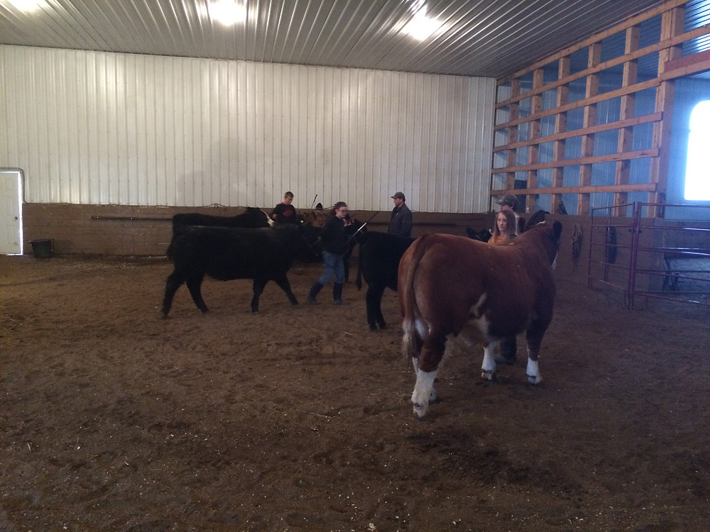 Practicing showmanship at Edgerton 4-H Cattle Clinic