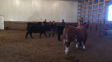 Edgerton 4-H Cattle Clinic & More Heifer Calves Born