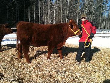 Dorin & Sven Limousin Cross Steer Purchased from Tessa Nybo