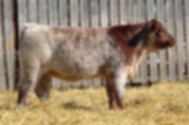 Lot 9 Italian Stallion Heifer Small File