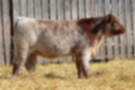 Lot 9 Italian Stallion Heifer Small File