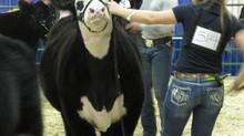 Lloydminster GMACK Steer & Heifer Show