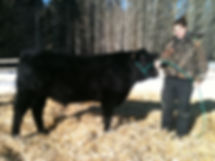 Tyla & Archie Limousin Cross Steer Purchased from Tessa Nybo