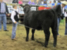 Amen Heifer at Two Hills District 4-H Show
