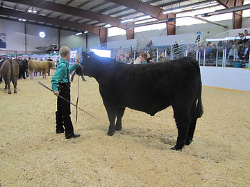 Reserve Champion Steer Kneehill District 4-H Show