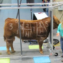 Tessa+Nybo+Cattle+Clinic.jpg