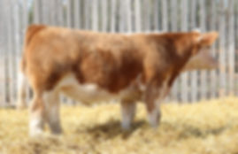 Lot 2 Dakota Gold Steer Small File.jpg
