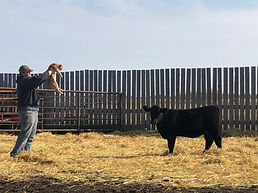 Picturing Cattle