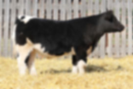 Lot 3 Italian Stallion Steer Small File