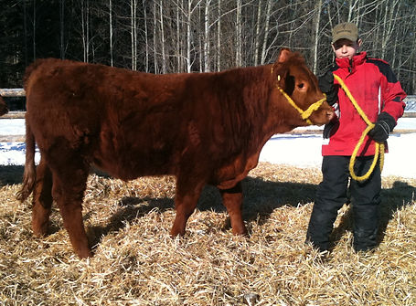 RGK 411Y Hillview Your Pick Purebred Limousin 4-H Steer