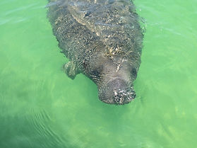 Manatee watching, Sightseeing Naples, Boat Tours