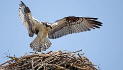 Osprey4_Bob Howdeshell_TN_2012_GBBC_KK