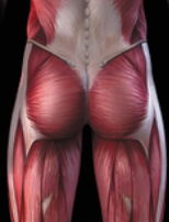 The Function and Importance of the Posterior Chain