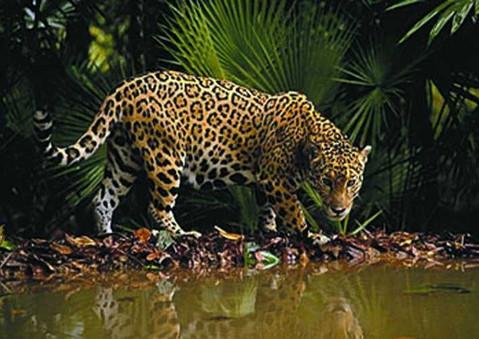 Osa Jaguar