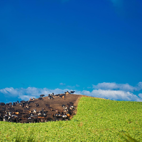 Farm cattle at noon