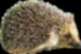 hedgehog_PNG16.png