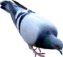 pigeon_PNG54592-2.png