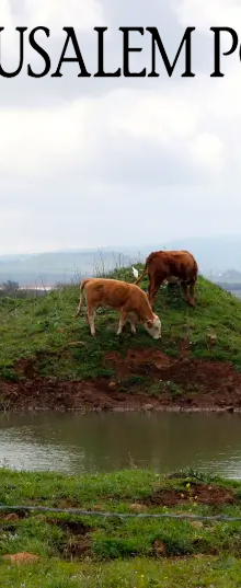 JPost: New behavior analysis AI tech allows you to improve a cow's 'moood'