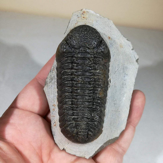 Large Phacops Trilobite With Good Eye Detail