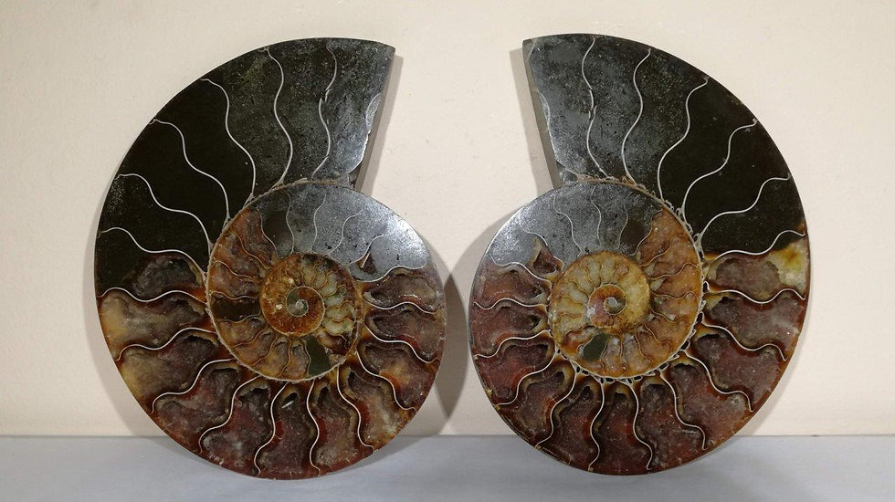 Large Cut And Polished Ammonite Pair 175mm