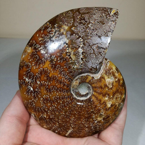 Polished Cleoniceras Ammonite 130mm
