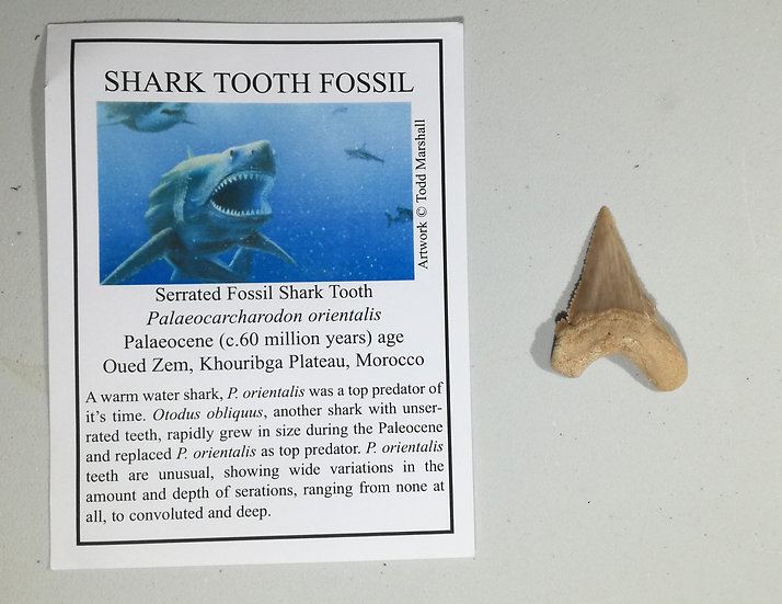 Palaeocarcharodon Shark Tooth