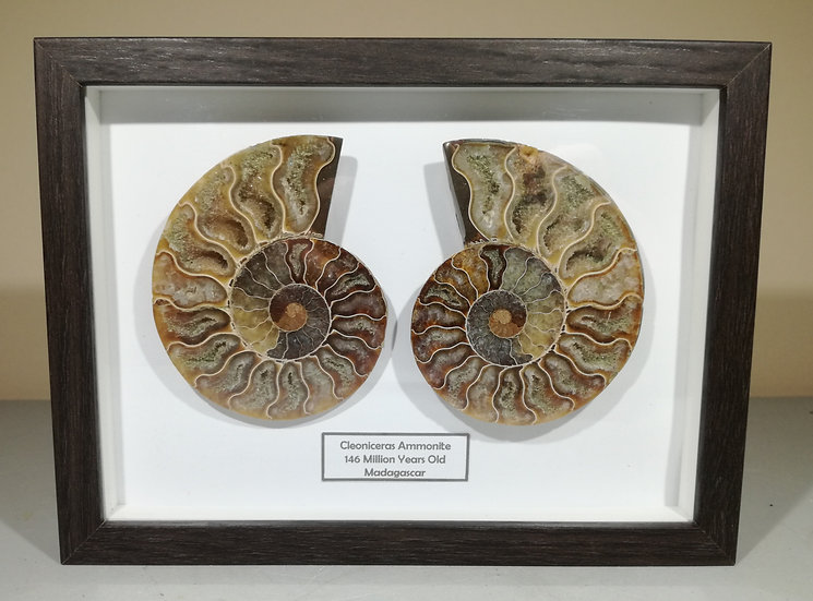 Framed Cut And Polished Ammonite 85mm