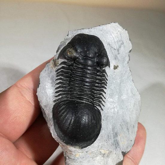 Paralejurus Trilobite