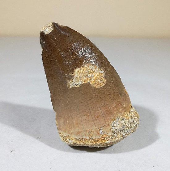 XL Mosasaur Tooth