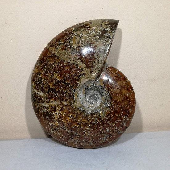 Polished Cleoniceras Ammonite 135mm