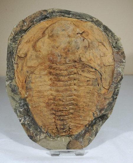 Cambropallas Trilobite - 150mm