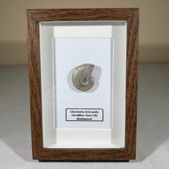 Framed Cleoniceras Ammonite