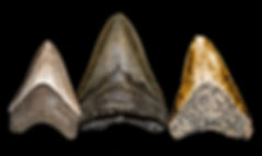 Fossilized Megalodon teeth isolated on b