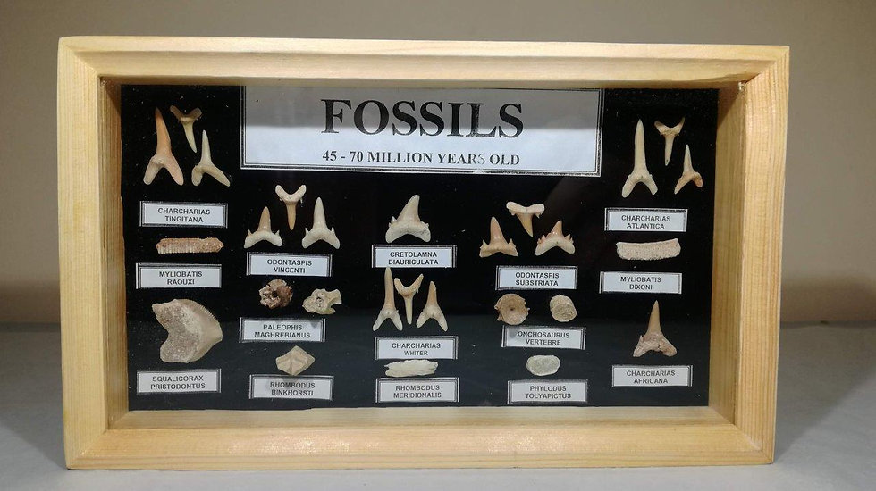 A- Grade Small Framed Fossil And Teeth Collection