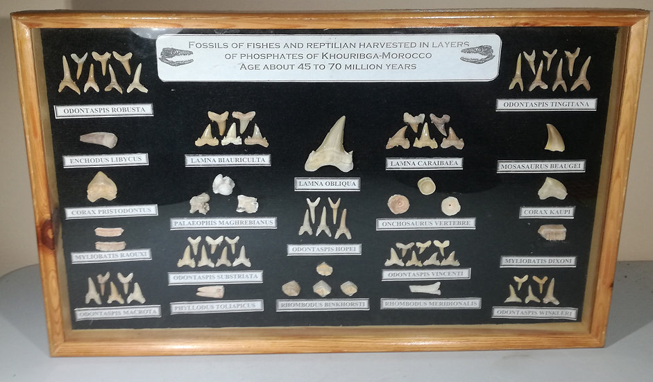 Large Framed Fossil And Teeth Collection