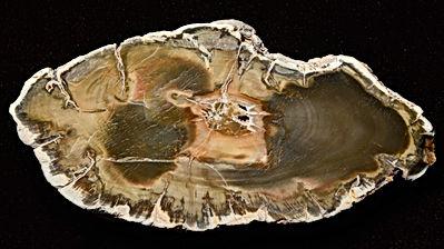 Ancient petrified wood, beautiful multic