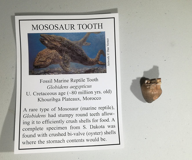 Fossil Globidens Mosasaur Tooth