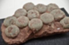 Fossil of dinosaur eggs.jpg